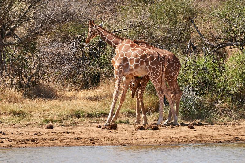 Necking_Reticulated_Giraffe_Loisaba_2018__0004