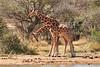 Necking_Reticulated_Giraffe_Loisaba_2018__0036