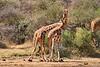 Necking_Reticulated_Giraffe_Loisaba_2018__0014