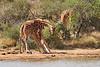Necking_Reticulated_Giraffe_Loisaba_2018__0023