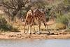 Necking_Reticulated_Giraffe_Loisaba_2018__0040