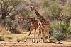 Necking_Reticulated_Giraffe_Loisaba_2018__0008