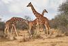 Reticulated_Giraffe_Loisaba_2018__0090