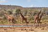 Reticulated_Giraffe_Loisaba_2018__0052