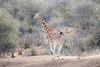 Reticulated_Giraffe_Loisaba_2018__0033