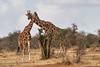 Reticulated_Giraffe_Loisaba_2018__0074