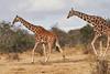 Reticulated_Giraffe_Loisaba_2018__0062
