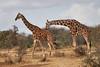 Reticulated_Giraffe_Loisaba_2018__0070