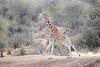 Reticulated_Giraffe_Loisaba_2018__0031
