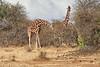Reticulated_Giraffe_Loisaba_2018__0055