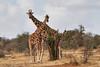 Reticulated_Giraffe_Loisaba_2018__0075