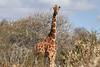 Reticulated_Giraffe_Loisaba_2018__0050