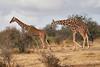 Reticulated_Giraffe_Loisaba_2018__0065