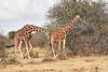 Reticulated_Giraffe_Loisaba_2018__0100
