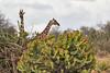 Reticulated_Giraffe_Loisaba_2018__0110