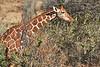 Reticulated_Giraffe_Loisaba_2018__0045