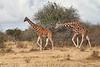 Reticulated_Giraffe_Loisaba_2018__0057