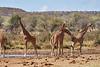 Reticulated_Giraffe_Loisaba_2018__0051