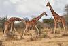 Reticulated_Giraffe_Loisaba_2018__0088