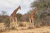 Reticulated_Giraffe_Loisaba_2018__0097