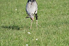 Secretary_Bird_Chasing_Food_Mara_2018_Asilia__0040