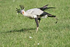 Secretary_Bird_Chasing_Food_Mara_2018_Asilia__0031