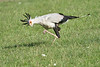 Secretary_Bird_Chasing_Food_Mara_2018_Asilia__0029