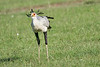 Secretary_Bird_Chasing_Food_Mara_2018_Asilia__0044