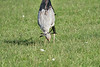 Secretary_Bird_Chasing_Food_Mara_2018_Asilia__0039
