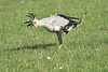 Secretary_Bird_Chasing_Food_Mara_2018_Asilia__0030