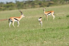 Thompsons_Gazelle_Mara_2018_Asilia__0014