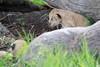 Tiny_Baby_Lion_Cubs_Asilia_2018_Mara__0008