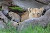 Tiny_Baby_Lion_Cubs_Asilia_2018_Mara__0014