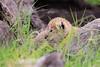 Tiny_Baby_Lion_Cubs_Asilia_2018_Mara__0163