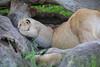 Tiny_Baby_Lion_Cubs_Asilia_2018_Mara__0021
