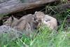 Tiny_Baby_Lion_Cubs_Asilia_2018_Mara__0012