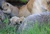 Tiny_Baby_Lion_Cubs_Asilia_2018_Mara__0020