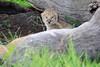 Tiny_Baby_Lion_Cubs_Asilia_2018_Mara__0009