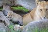 Tiny_Baby_Lion_Cubs_Asilia_2018_Mara__0017