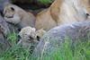 Tiny_Baby_Lion_Cubs_Asilia_2018_Mara__0019
