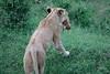 Lion_Cub_Transfer_Asilia_2018_Mara__0005