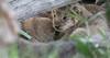Tiny_Baby_Lion_Cubs_Asilia_2018_Mara__0005