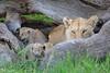 Tiny_Baby_Lion_Cubs_Asilia_2018_Mara__0015