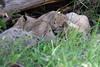 Tiny_Baby_Lion_Cubs_Asilia_2018_Mara__0013