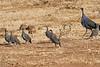 Vulturine_Guinea_Fowl_2018_Loisaba__0002