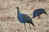 Vulturine_Guinea_Fowl_2018_Loisaba__0025
