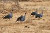 Vulturine_Guinea_Fowl_2018_Loisaba__0010