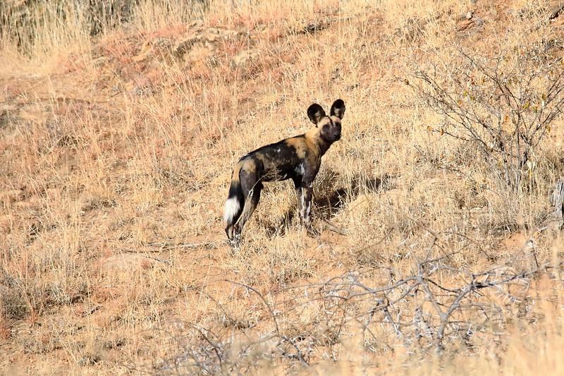 Wild_Dog_2018_Laikipia_Wilderness_0030