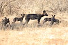 Wild_Dog_2018_Laikipia_Wilderness_0047