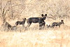 Wild_Dog_2018_Laikipia_Wilderness_0049